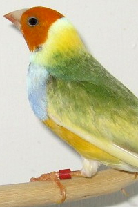 Australian Yellow Gouldian Finch male showing green variegation