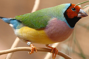 Normal (green) red-headed adult female Gouldian Finch