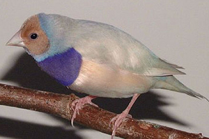 Single Factor Pastel Blue male Gouldian Finch, Red-headed