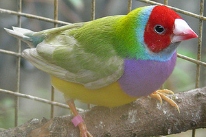 Single Factor Pastel Green male Gouldian Finch, Red-headed